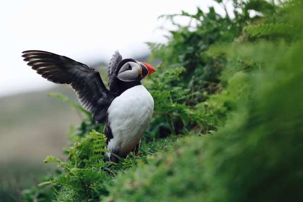 Puffin on Skomer Island, Pembrokeshire