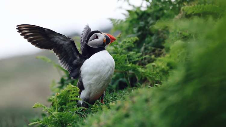 Bethany Priday, Natural History student, puffin