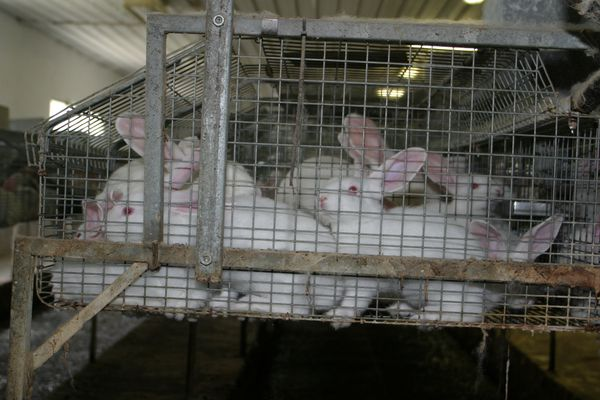 Rabbits crammed into bare wire cages, bred for their meat and fur in Italy