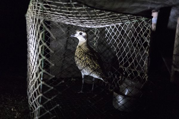 A Golden Plover is found on an illegal hunting site in Malta during a night time raid by Police and the Committee Against Bird Slaughter