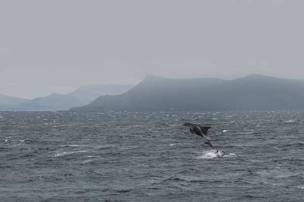 White beaked dolphin breaching off the southern Iceland coastline