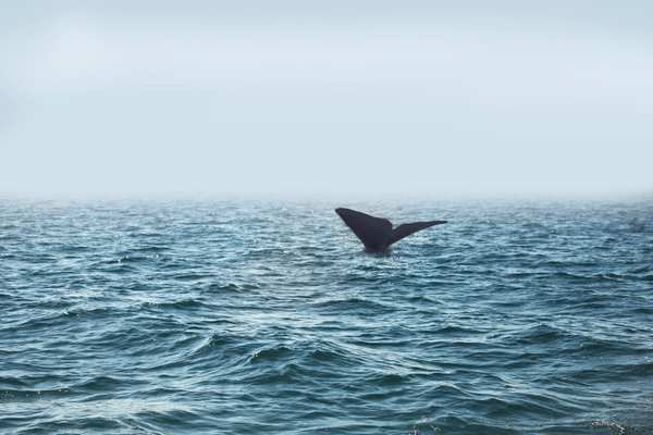 Sperm whale off the southern Spanish coast