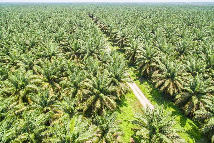 Palm Oil plantation - Denis Murphy article