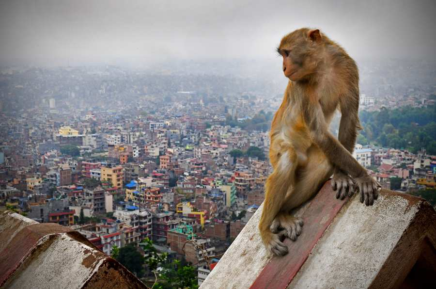 Monkey in the city - Dr Tracie McKinney research