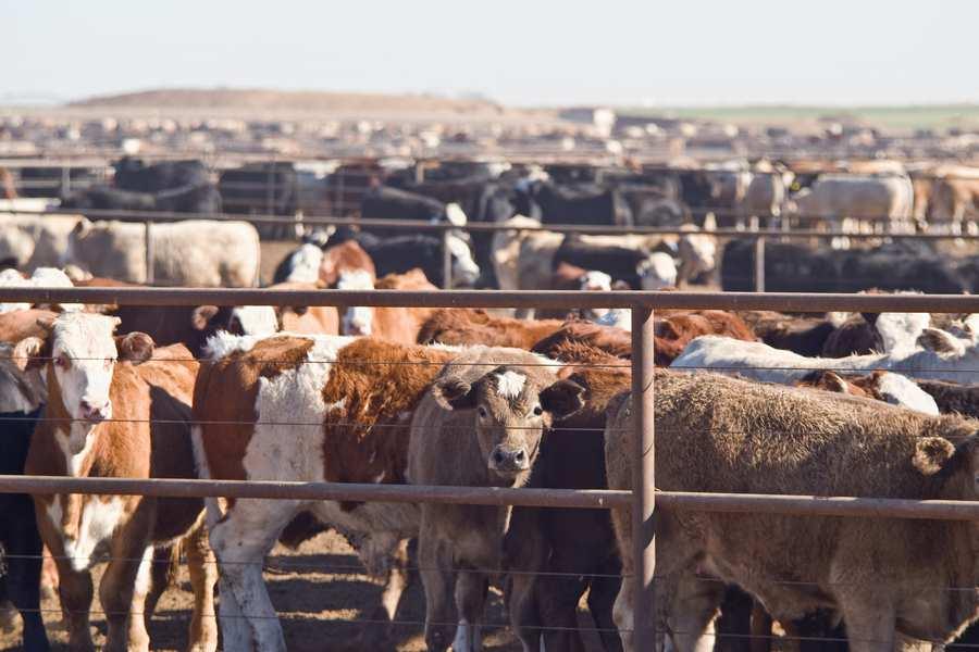 Cattle feedlot - Professor Denis Murphy research