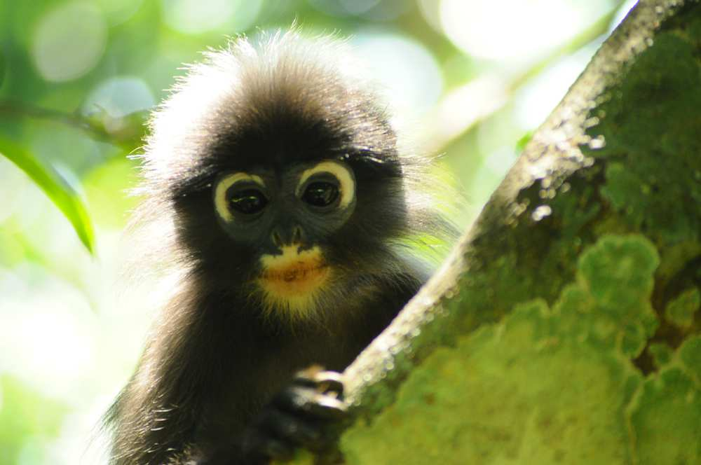 The discovery of the Popa langur, a medium-sized leaf-eating monkey found in central Myanmar, was recently announced by scientists.