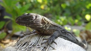 Daisy Maryon. Research master student. Investigating swampers iguanas in Honduras. Neil Gibson. October 16