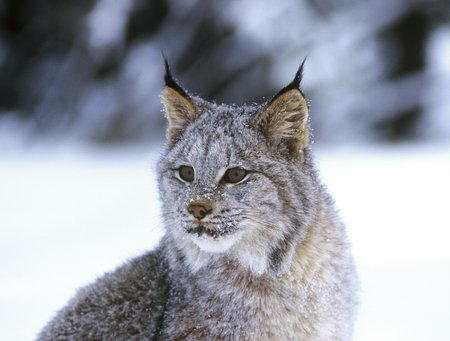 canadian lynx ThinkstockPhotos-486260267.jpg